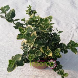 Euonymus Emerald Gaiety 1 litro