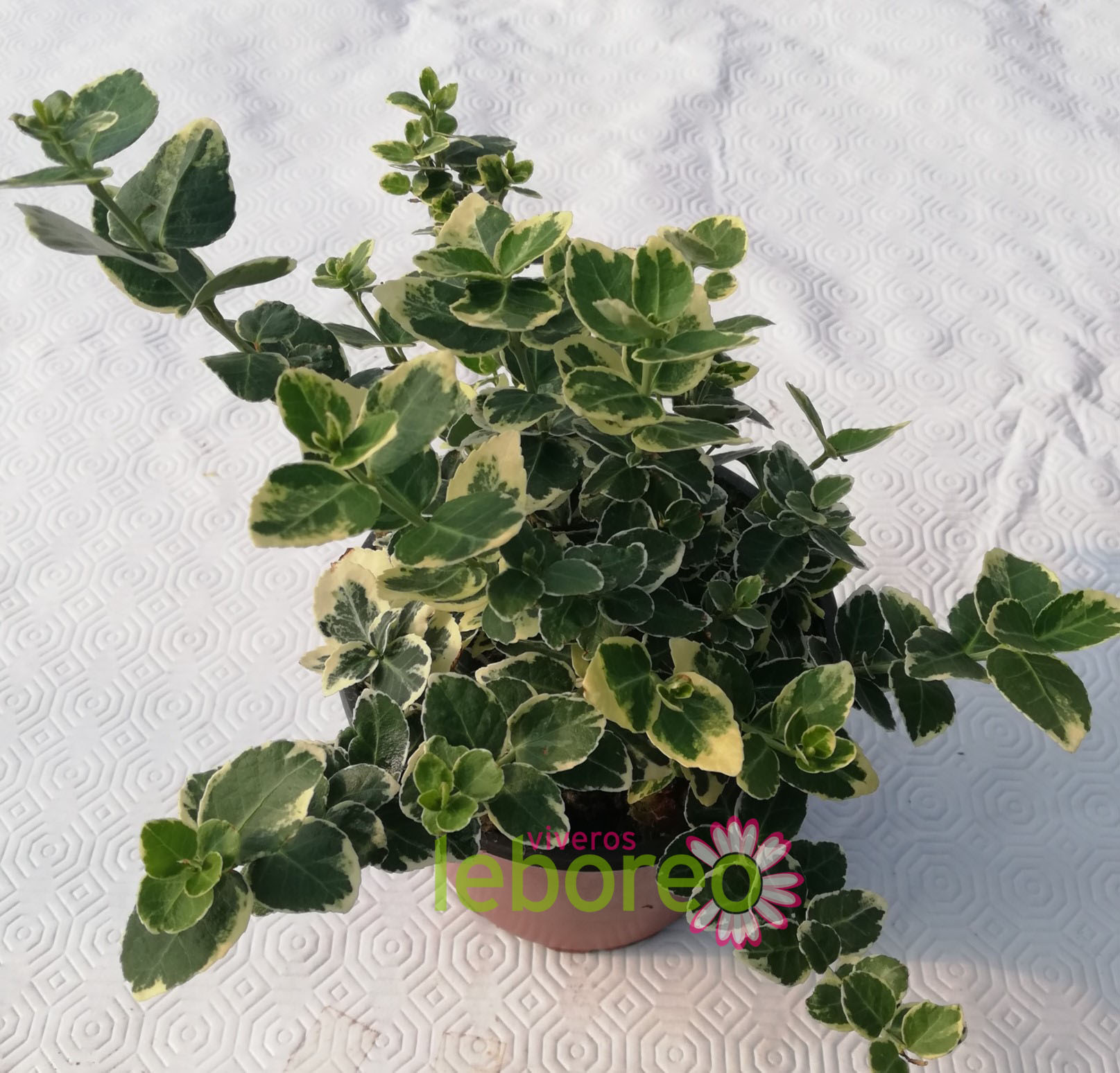 Euonymus fort. Emerald gaiety 1 litro