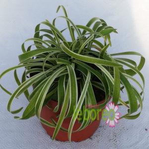 Liriope variegata 2 litros