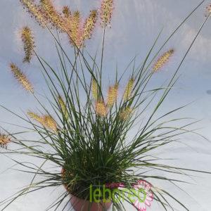 Pennisetum Hameln