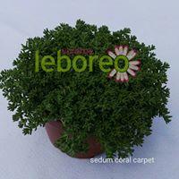 Sedum Coral Carpet 2 litros