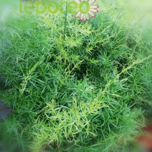 Asparagus sprengeri 2 litros