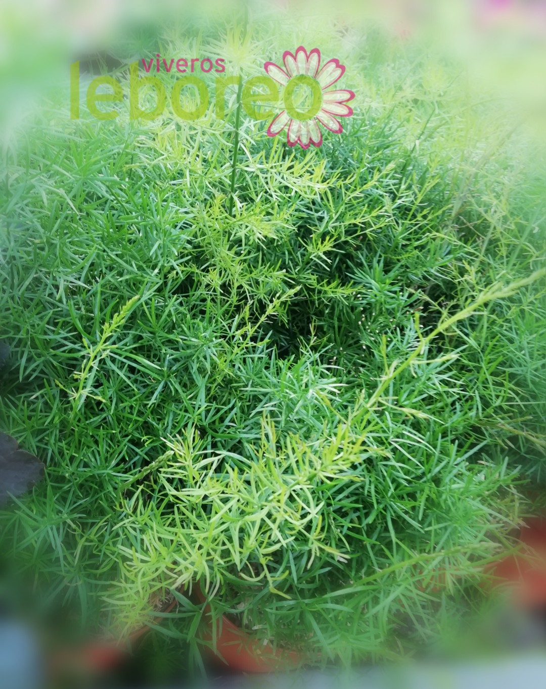 Asparagus sprengeri 5 litros