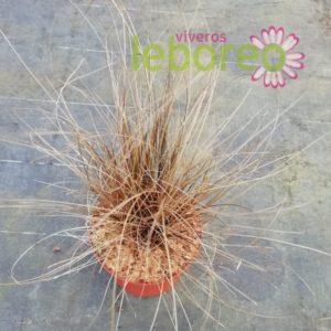 Carex Bronce Form