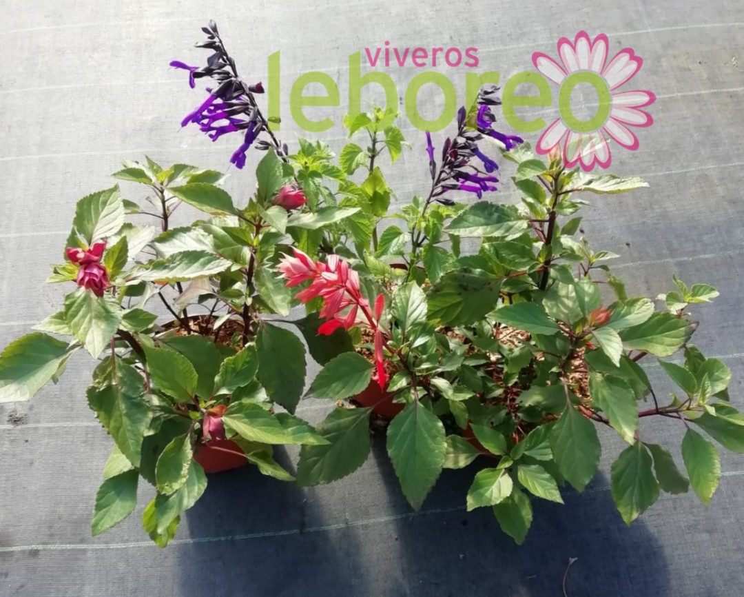 Salvia hibrida