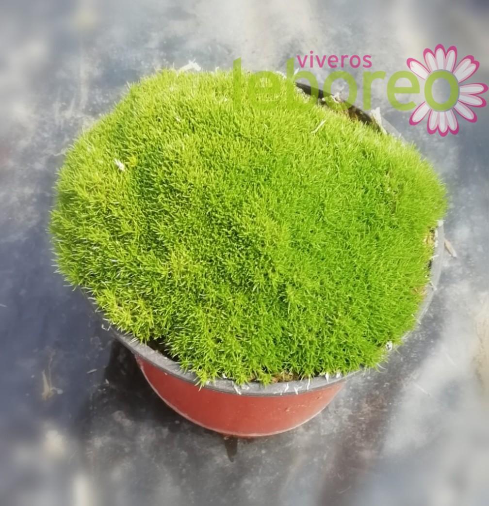 Scleranthus uniflorus