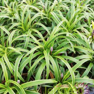 Liriope variegado
