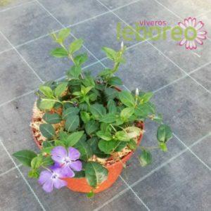 Vinca minor Flower Power